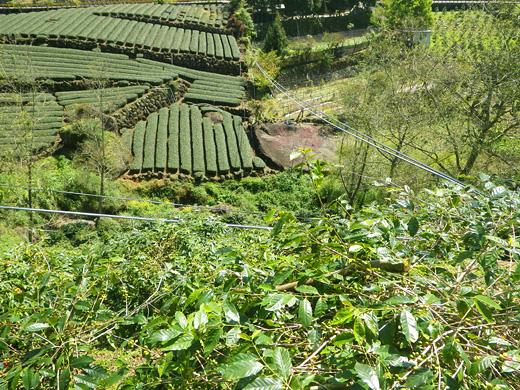 阿里山 高山茶の茶畑