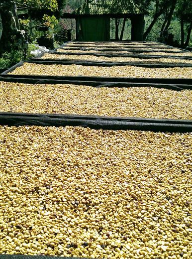 鄒築園 天日干しのコーヒー豆
