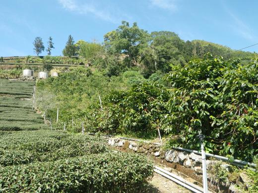 鄒築園のコーヒー畑と茶畑