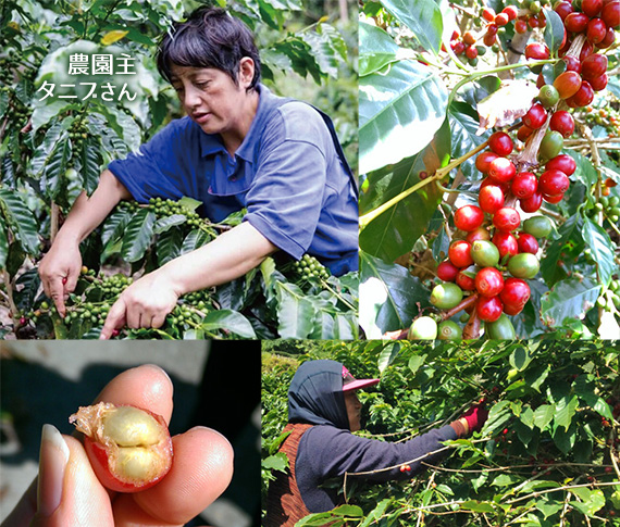 台湾 阿里山珈琲 2018 〜コリドー農園 タニブさんの珈琲