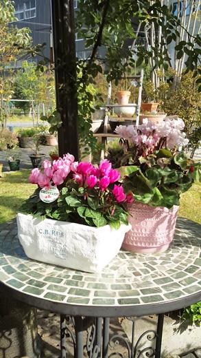シクラメンの花が入荷
