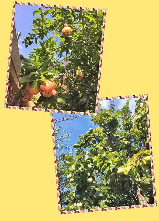 ガーデン果樹園のざくろとカリンが今年も豊作