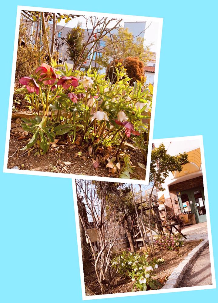 南蛮屋ガーデンに咲く「クリスマスローズ」