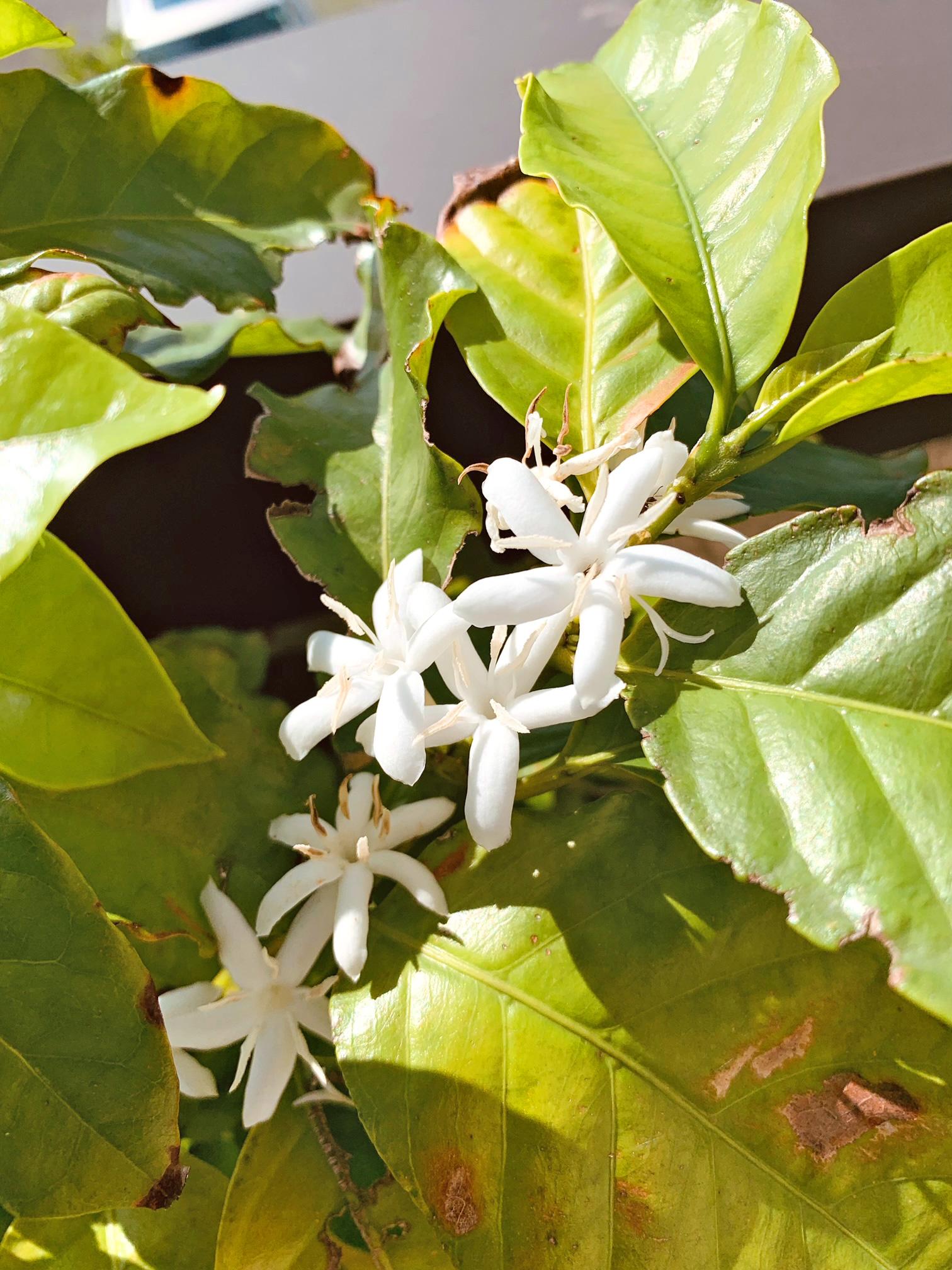 コーヒーの木の花が開花