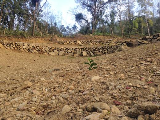 落花生の殻が敷き詰められたコーヒー畑