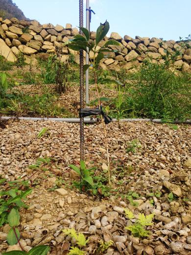 イエローティピカ種のコーヒーの苗木