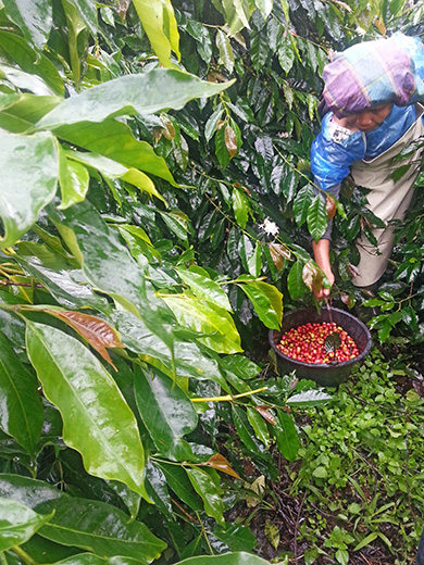 インドネシアコーヒー農園