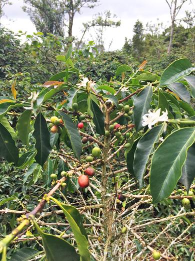 花と実をつけたコーヒーの木