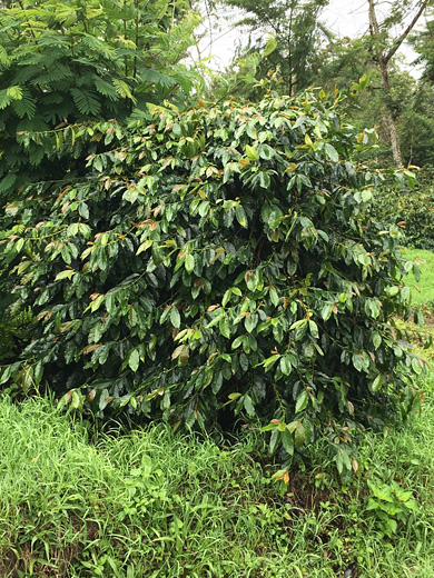 インドネシア ワハナ農園