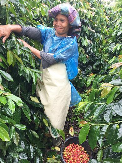 インドネシア ワハナ農園 ロングベリーのコーヒーの実を収穫