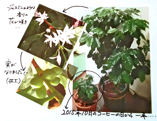 コーヒーの苗木プレゼントフェアー