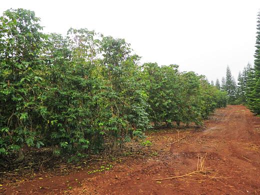ハワイ ワイアルア農園
