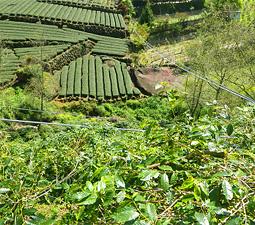 茶畑とコーヒー畑が混在
