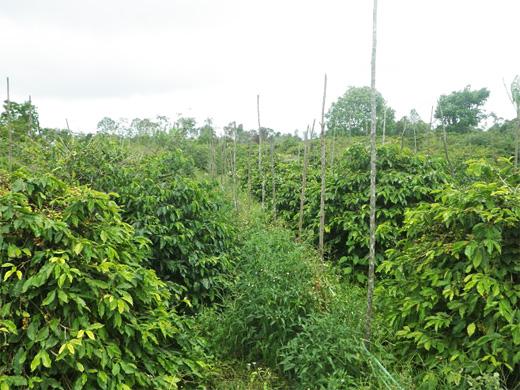 コーヒーの木々の間に野菜が植えられている