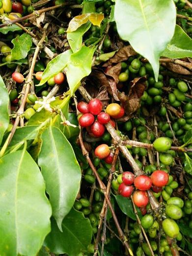 開花した花、未成熟、完熟のコーヒーの実が並ぶ