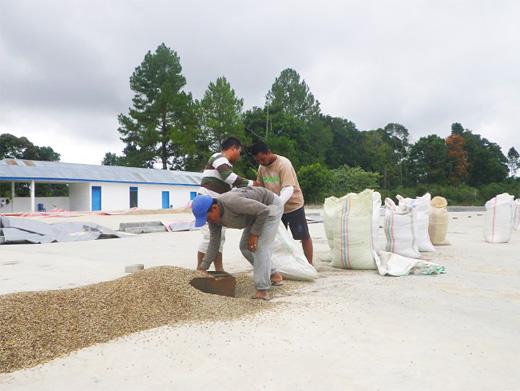 乾燥工程に入るコーヒー生豆