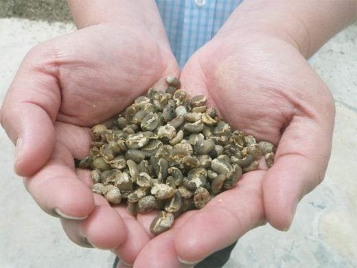 最終的な天日乾燥工程中のコーヒー豆『アサラン』
