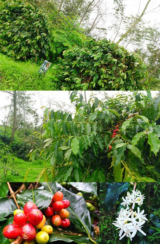 インドネシア コーヒー豆 産地訪問「サリマクムール社」ワハナ農園