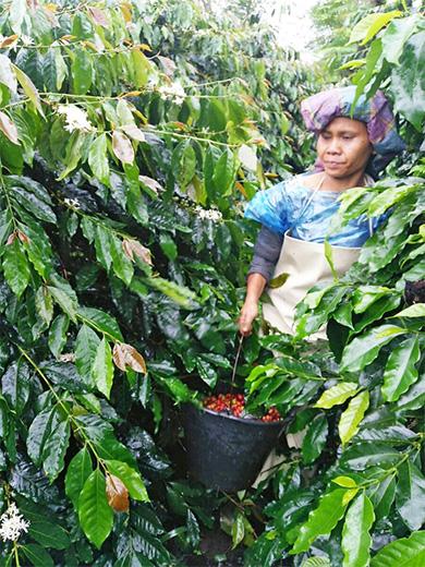 コーヒー手摘み収穫中の女性