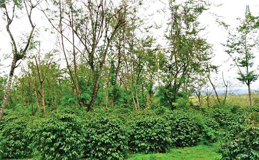 コーヒーのシェードツリー